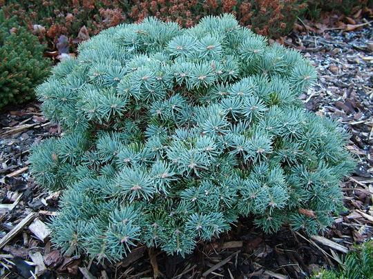 Abies concolor 'Pigelmee' (Abies concolor)