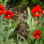 More red tulips.