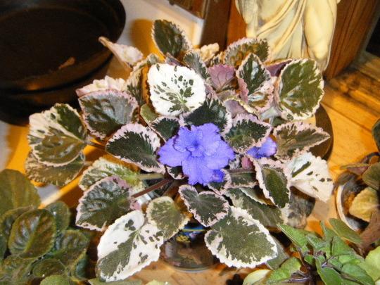 Nice Blue Blooms Still