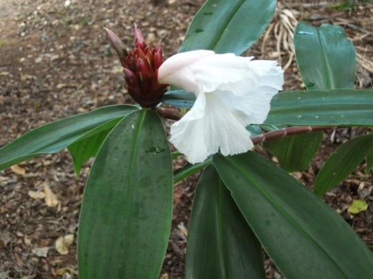 Costus speciosa .plain leaf. (Costus speciosa plain leaf)