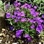 New Aubretia.