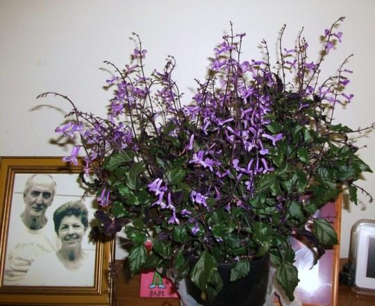 """Plectranthus """" mona lavender """" (PLECTRANTHUS """"MONA LAVENDER """")"""