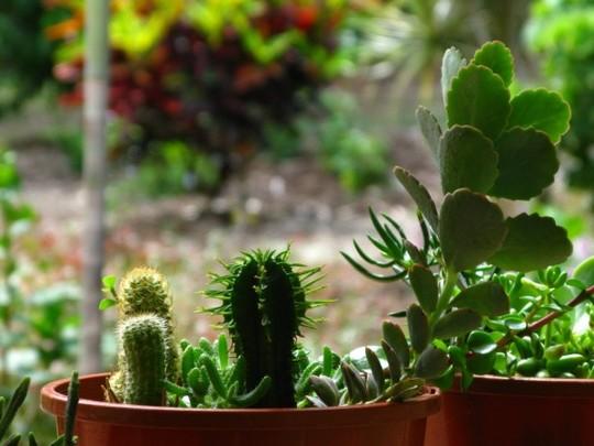 Succulents mixed (Succulents mixed)