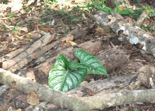 Philodendron mamei  (Philodendron mamei .creeping Aroid.)