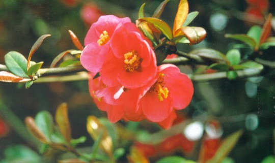 quince (Chaenomeles speciosa (Flowering quince))