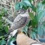 Cooper's Hawk!!