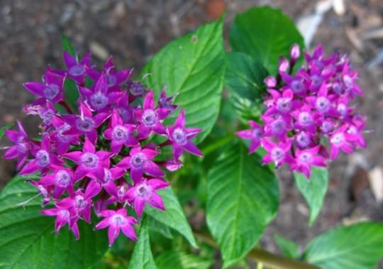 """Pentas lanceolata """"purple"""" dwarf  (Pentas lanceolata dwarf.""""purple"""")"""