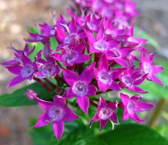 """Pentas lanceolata dwarf """"purple"""" (Pentas lanceolata dwarf """"purple"""")"""