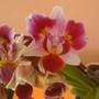 Peloric Phalaenopsis (Orchid)