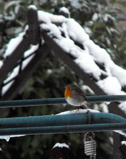 Mr Robin Looking Very Cold :(