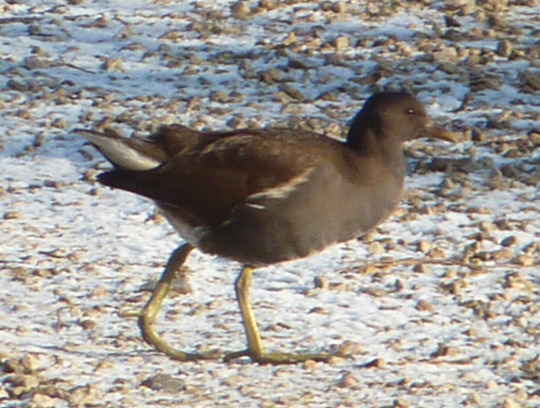 Young (Hungry) Moorhen