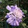 Scabiosa_butterfly_blue_