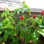 Costus barbatus - Red Tower Ginger / Spiral Ginger (Costus barbatus - Red Tower Ginger / Spiral Ginger)