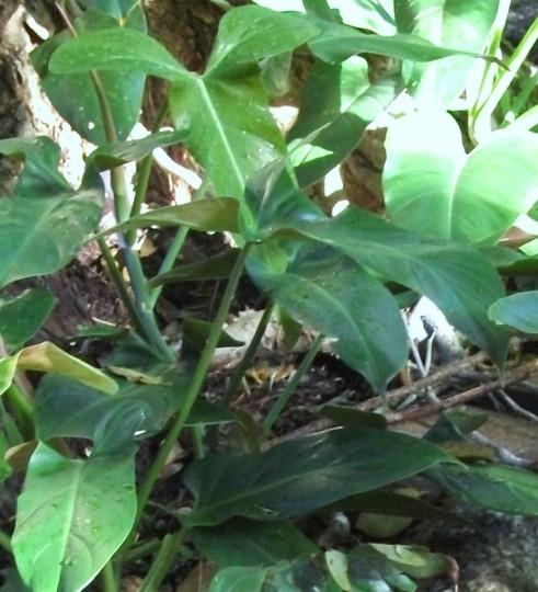 Philodendron species (Philodendron species.)