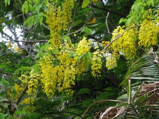 Cassia fistula  (Cassia fistula (Golden shower tree))