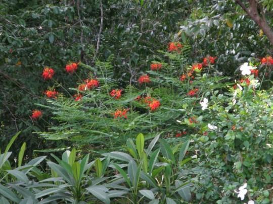 Caesaloinia pulcherrima (Caesalpinia pulcherrima (Barbados Flower Fence))