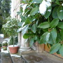 Bay and pots of box (Laurus nobilis (Sweet bay))