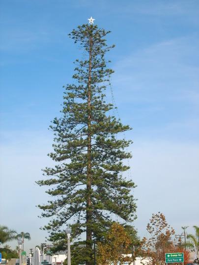 Araucaria heterophylla - Norfolk Island Pine used a Christmas Tree on Coronado Island  (Araucaria heterophylla - Norfolk Island Pine)