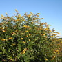 Butterfly bush (Buddleja globosa (Orange ball tree))