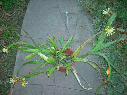 Epiphyllum 'Golden Charm' (Epiphyllum 'Golden Charm')