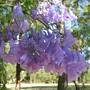 Jacaranda mimosifolia (Jacaranda mimosifolia (Brazil Rosewood))