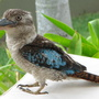 A Christmas Day visitor!  The Blue-Winged Kookaburra  (Dacelo leachii)