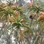 Aloe bainsii - Tree Aloe in bloom (Aloe bainsii - Tree Aloe in bloom)