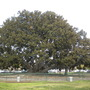 Ficus macrophylla - Moreton Bay Fig (Ficus macrophylla - Moreton Bay Fig)