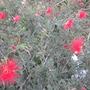 Callliandra californica - Baja or California Fairy Duster (Callliandra californica - Baja or California Fairy Duster)