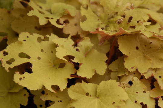 Heuchera - for Vicky