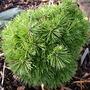 Pinus uncinata 'Casar' (common name; mountain pine)