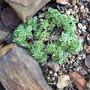 Frosty rockery plant  (Sea Campion (Silene maritima))