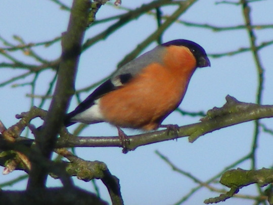 Look  (Male Bullfinch)