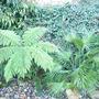 Tree_Fern Chamaerops Humilis
