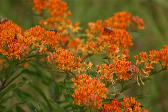 Butterfly Weed – Asclepias tuberose