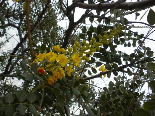 Caesalpinia mexicana - Mexican Bird-of- Paradise (Caesalpinia mexicana - Mexican Bird-of- Paradise)