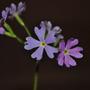 Primula Cortusoides Primadiente (Primula cortusoides Primadiente)