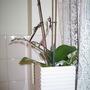 'Sling' for Phalaenopsis flower spikes (Phalaenopsis)