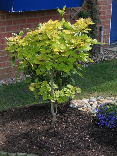 Acer Aureum (Acer shirasawanum)