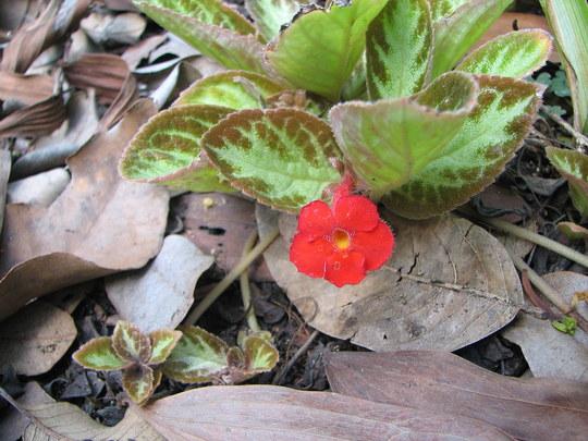 Summer downunder: Episcia cupreata - Flame Violet (Episcia cupreata)