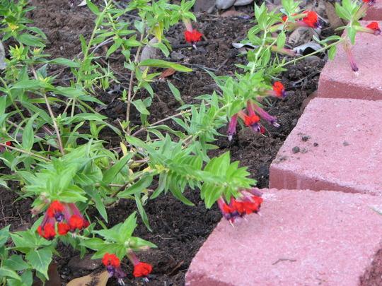 Summer downunder:  Cuphea llavea 'Tiny Mice' (Cuphea llavea (Cuphea))
