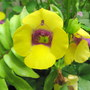 Summer downunder: Torenias are flowering (Torenia baillonii - Catalina hybrid)