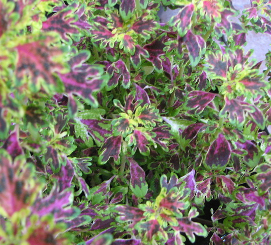 Sumer downunder: coleus foliage adds lots of colour (Solenostemon scutellarioides (Coleus))
