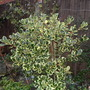 Female holly `Golden King` (Ilex x altaclerensis)