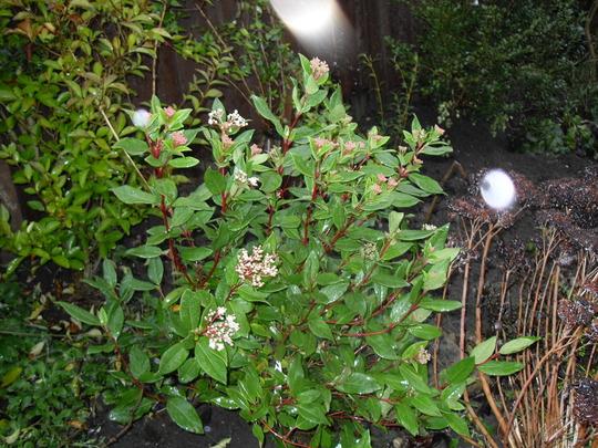 Viburnum tinus `Eve Price`