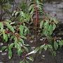 Portugal Laural (Prunus Lusitanica)