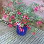 Mrs Popple Fuchsia (Fuchsia magellanica (Hardy fuchsia))
