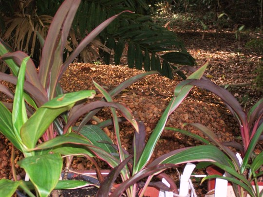 Cordyline sps  (Cordyline species  young plants)