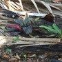 Young Cordylines just planted (Cordyline sps)