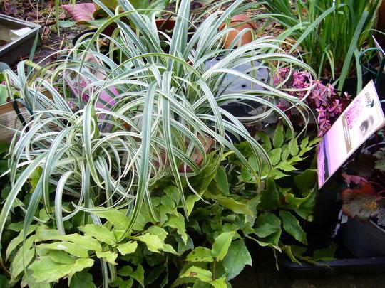 Liriope muscari 'silver ribbon' (Liriope muscari 'silver ribbon')